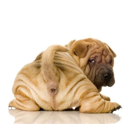 top 10 cutest shar pei puppies cute n tiny