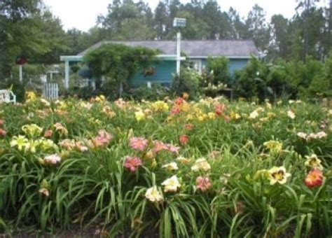Garden City Florida by 17 Best Images About Garden Daylilies On
