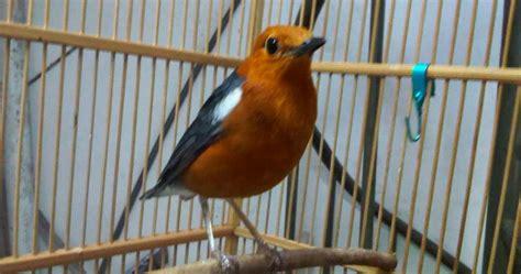 Obat Herbal Katarak Pada Burung burung anis obat alami katarak burung anis merah