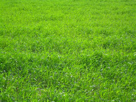 planting perennial ryegrass what is perennial ryegrass