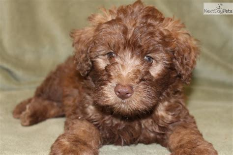 mini wheaten doodle mini kingston soft coated wheaten terrier puppy for sale