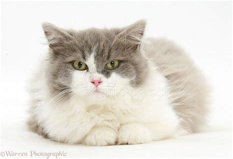 shorthair x ragdoll shorthair x ragdoll kittens about animals