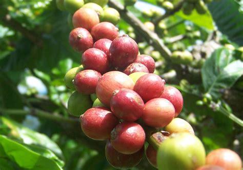 Kopi Robusta Lung 12 kopi robusta catatan akhir mahendra