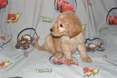 doodle puppies for sale florida view ad goldendoodle puppy for sale florida davenport usa