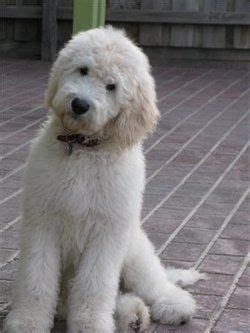 pin by sophie leger on dream house pinterest groodle sophie s dream dog to convince the husband