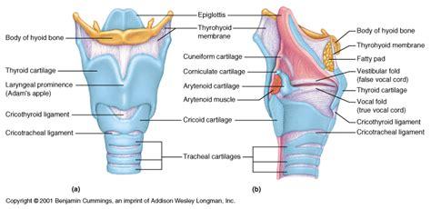 laryngectomy diagram ch22 larynx
