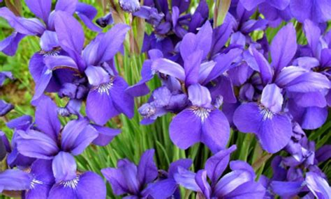 fiori bellissimi immagini iris come curarlo per avere fiori bellissimi e