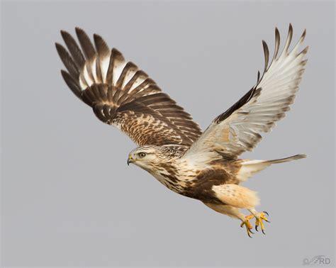 rough legged hawk dark morph rough legged hawk in flight 171 feathered photography