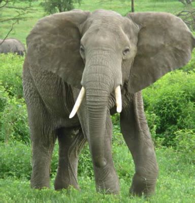 the wonders of nature why do elephants have such big ears