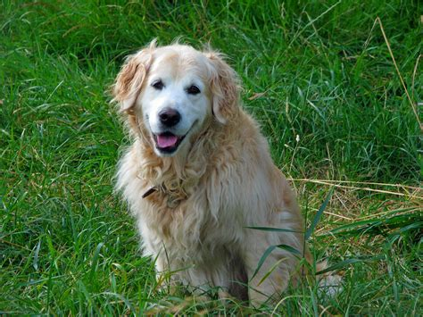 golden retriever free to home golden retriever by arnold breeds picture