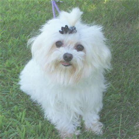 maltese puppies for sale in ohio maltese puppies for adoption northeast ohio dogs for sale puppies for sale