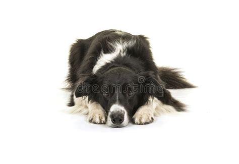 head  border collie sheepdog stock image image