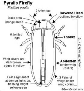 The pyralis firefly also known as the lightning bug is a common