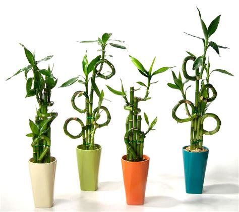 bamboo house plant small bamboo plants green small bamboo on the white background you may want larger
