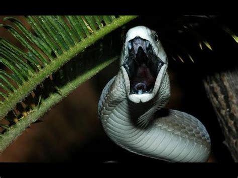 imágenes de serpientes negras la mamba negra serpiente mas venenosa de africa youtube