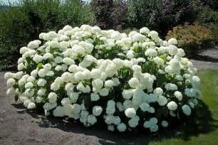 Shade Flowering Shrubs - annabelle hydrangea 2