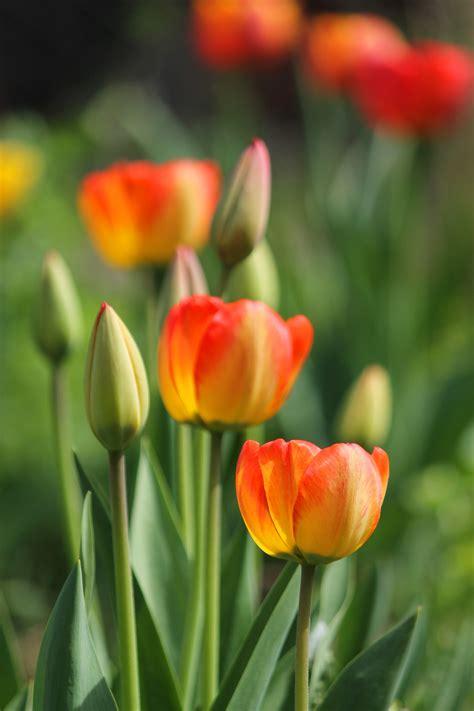 tulips buds flowers spring beautiful sunlight