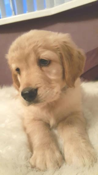 golden retriever puppies swansea golden retriever puppy last 1 7 sold swansea swansea pets4homes