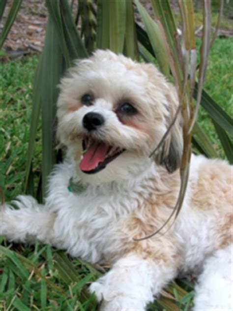bichon shih tzu mix expectancy more info about the shih tzu bichon frise mix aka the zuchon
