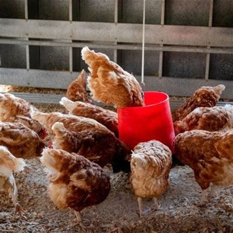 4 steps to your backyard chickens happy during
