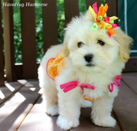 poovanese puppies for sale poovanese puppies www pixshark images galleries with a bite