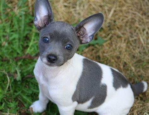 Sale Decker Dekker Fox Mini Size gray and white delight rat terrier miss ziva the