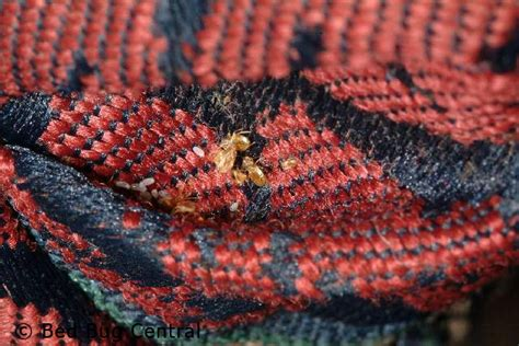 signs of bed bugs in couch early detection bedbug central