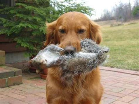 golden retriever dog house golden retriever retrieves squirrel natural history