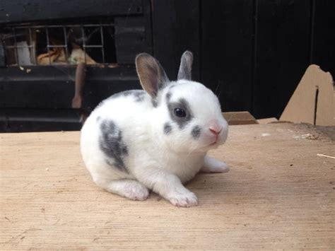 bunnies for sale near me bunnies for sale beautiful mini rex