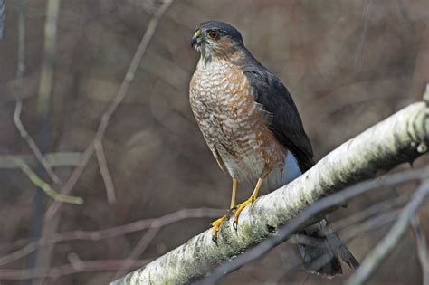 sharp shinned hawk sharp shinned hawk accipiter striatus