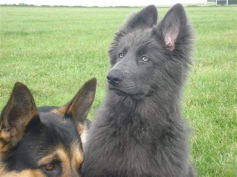 grey german shepherd puppies my bred german shepherd just had a white puppy i don t think i ve seen one