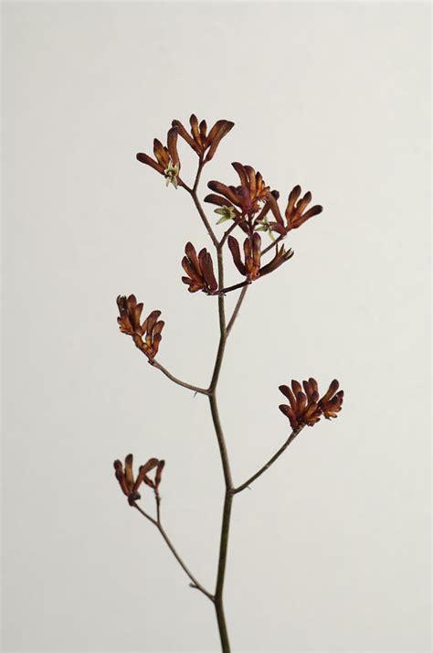 a kangaroo paw plant anigozanthos photograph by joel sartore