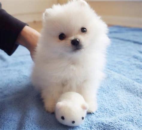 Piccole Ma by Oltre 25 Fantastiche Idee Su Cuccioli Di Cani Su