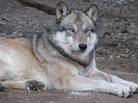 alaskan wolf alaskan wolf bonnie mcdonald san diego travel