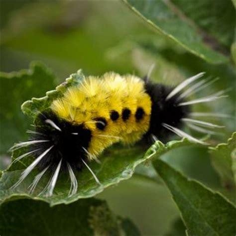fuzzy black and yellow caterpillar butterflies and