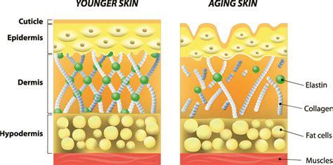 Collagen Skin what are collagen and elastin derma roller store