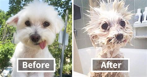 before and after getting your puppy 10 pics before and after a bath bored panda