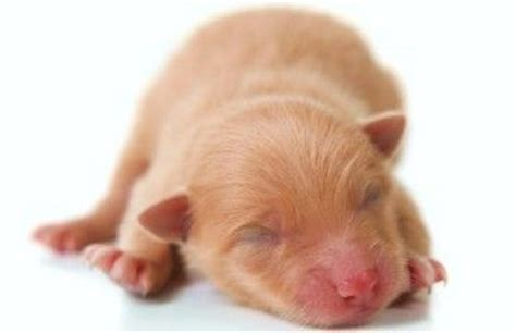 how before puppies open stages of puppy s growth when do puppies open their