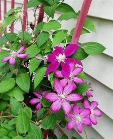 star shaped flowering vine is called clematis