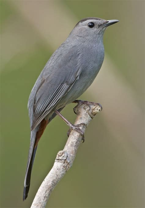 gray catbird look for red underneath and black stripe on