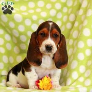 basset hound puppies pa basset hound puppies for sale in in pa greenfield puppies