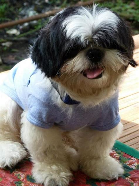 shih tzu names pin name shih tzu on