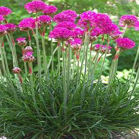 onlineplantcenter 1 gal deep pink sea thrift plant a3870g1 the home depot
