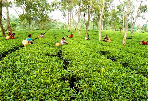 Ta Gardens by Assam Tea Strong Malty Of Flavour And Colour