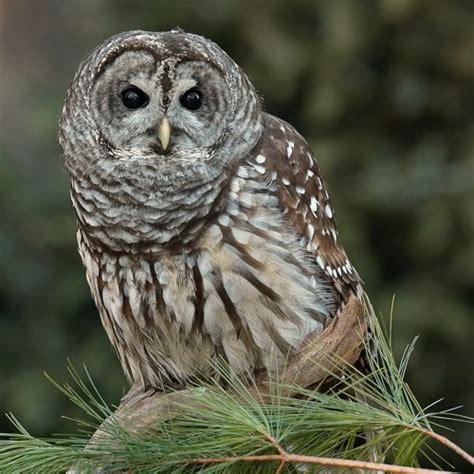barred owls interacting monkey calls berk co wv 5 30