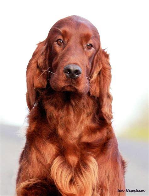 setter dog short hair 126 best images about irish setter on pinterest irish