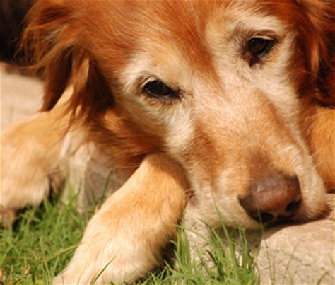 arthritis in golden retrievers what you need to about inflammation and arthritis in dogs