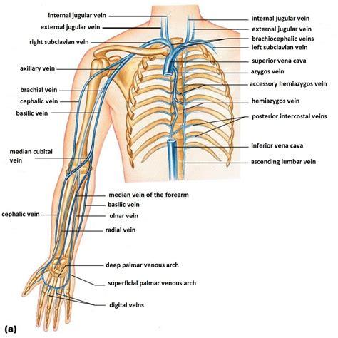 diagram of veins diagram of veins in the arm anatomy organ