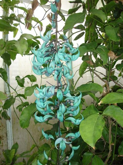 Tanaman Thunbergia Biru Blue Clock Vine 51 best flowers images on beautiful flowers