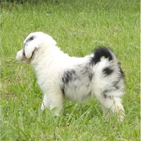 mini aussiedoodle mini aussiedoodle puppy